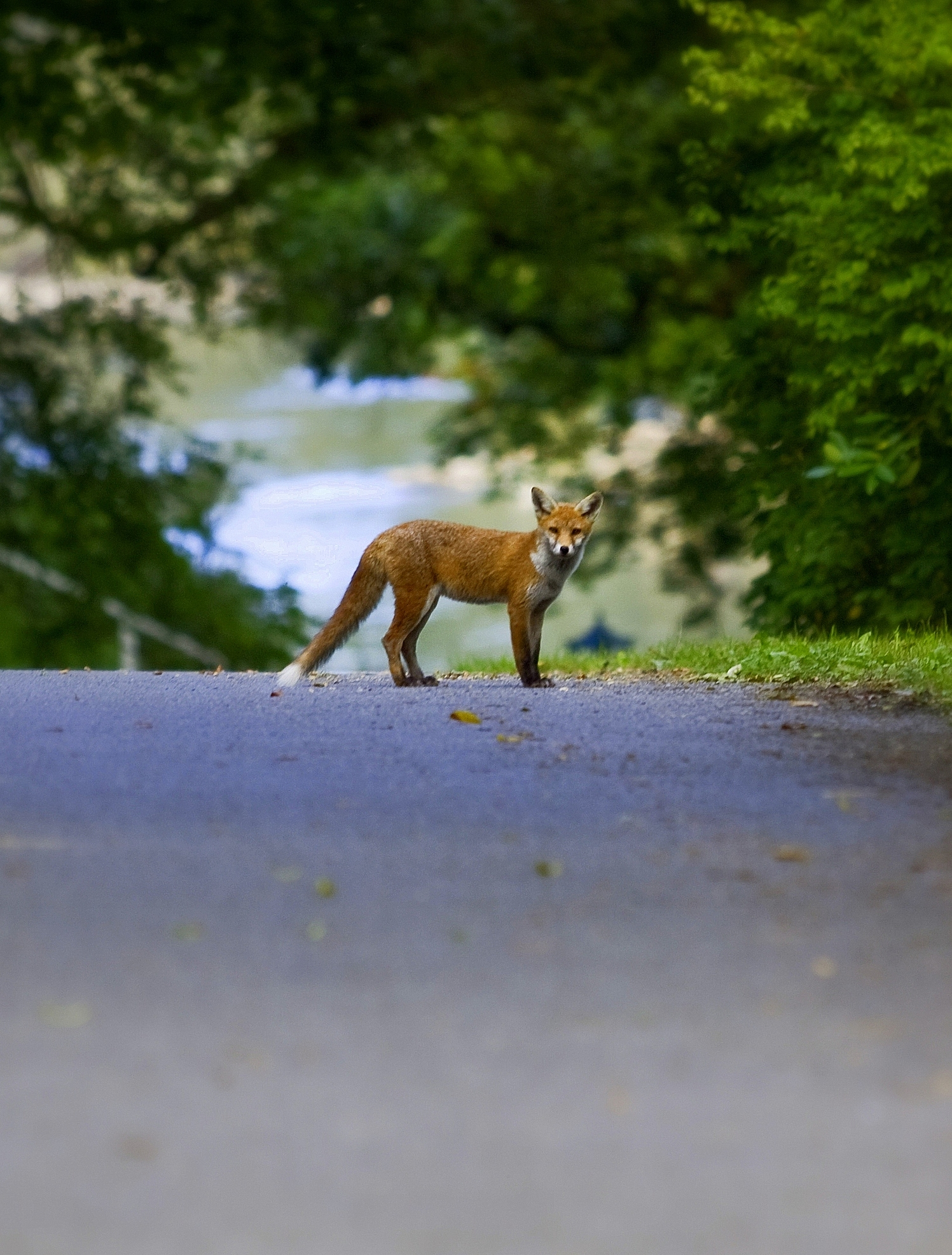 My First Fox Photo – Photo of the Week