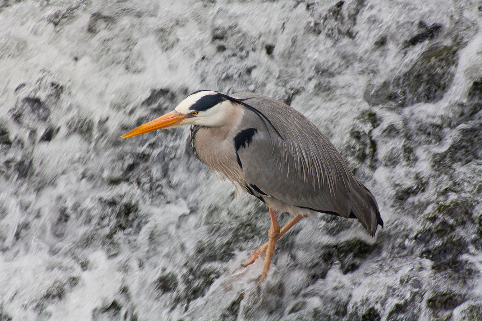 Heron standing on weir in Cahir