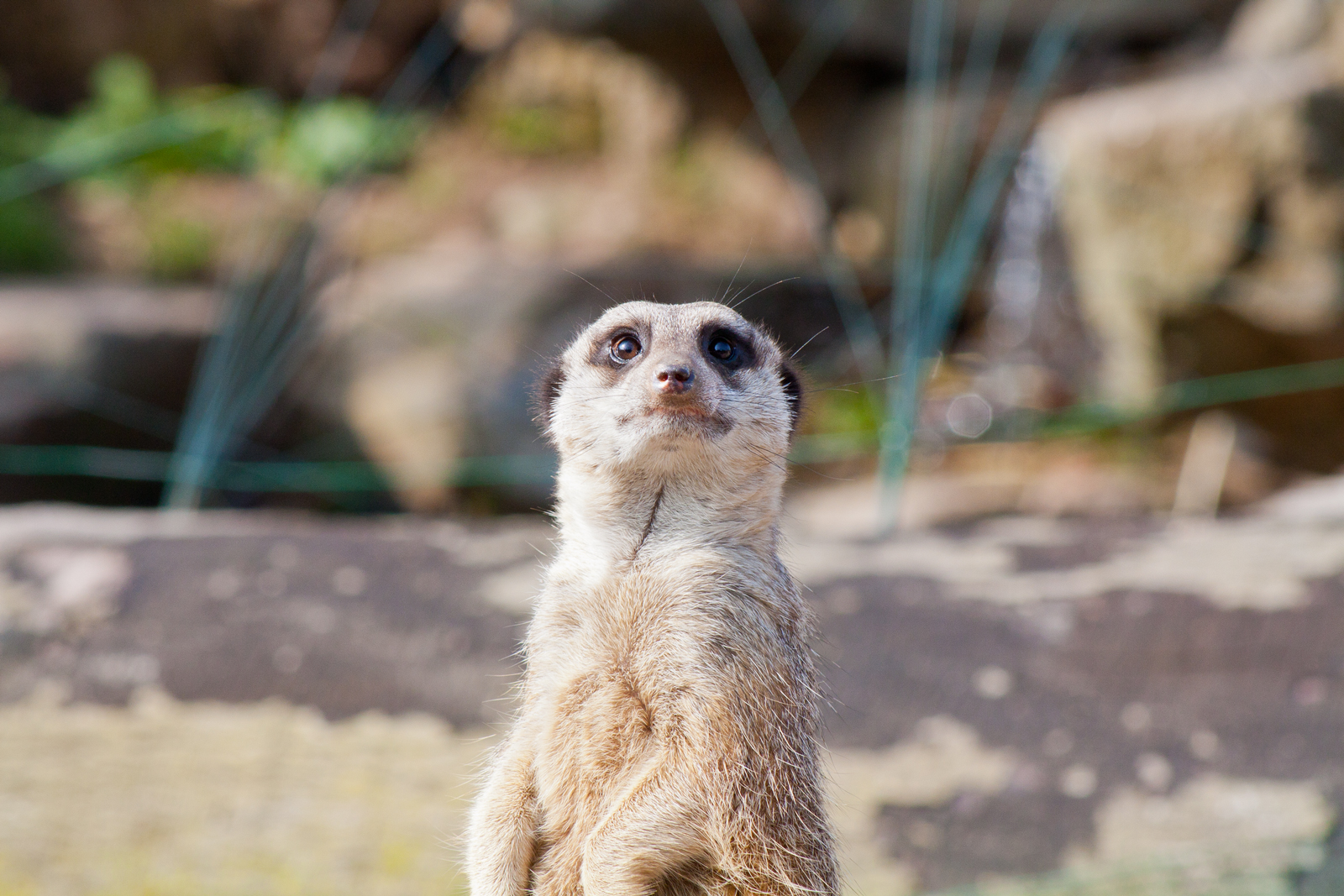 Meerkat - Compare my Meerkat - Fota Wildlife Park Meerkat or Meercat - Cute photo