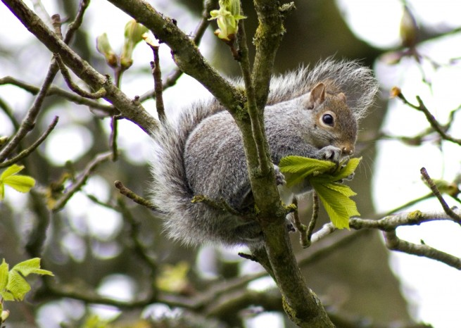 A Nibbling Squirrel in the Trees - Squirrel eating a leaf.