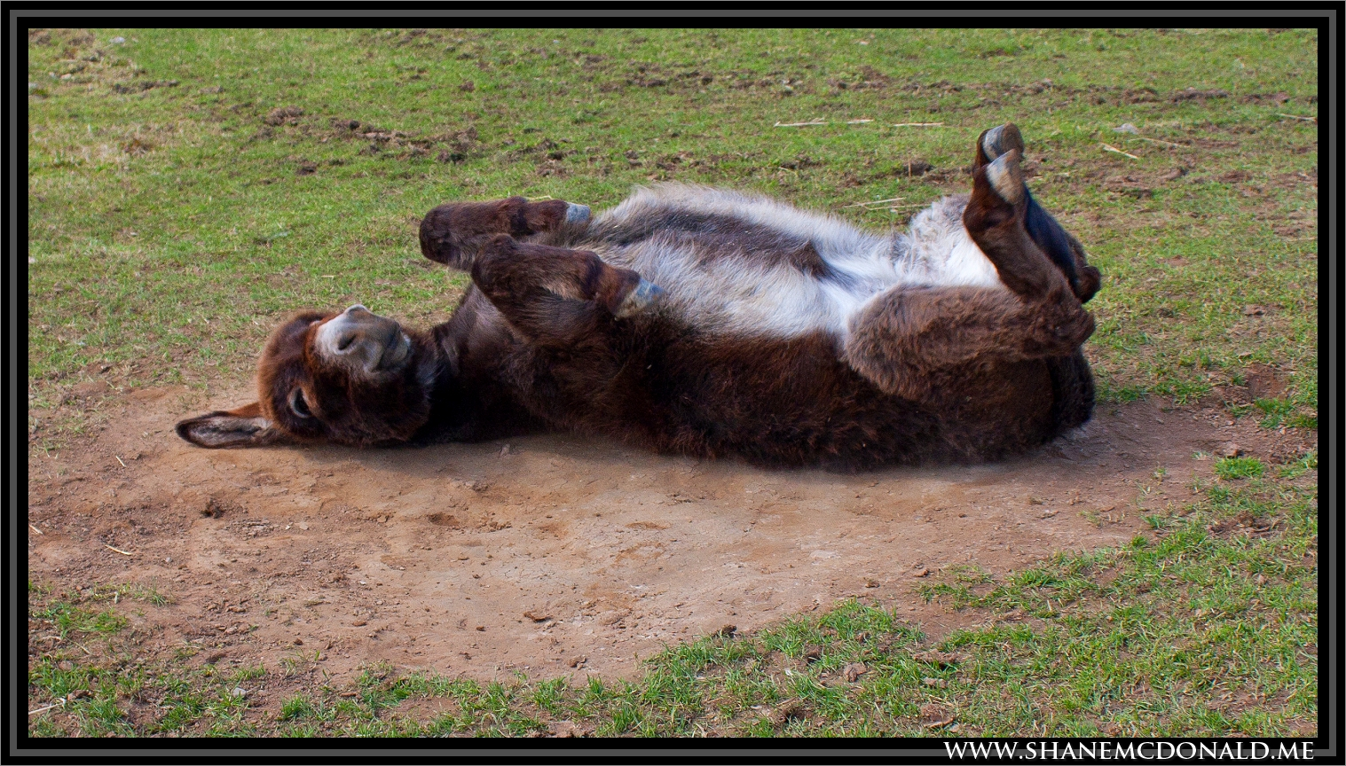 Ass Lying Down - Ass Photo, Photo of an Ass on the Ground with a funny expression on his face : Ass Face Smile