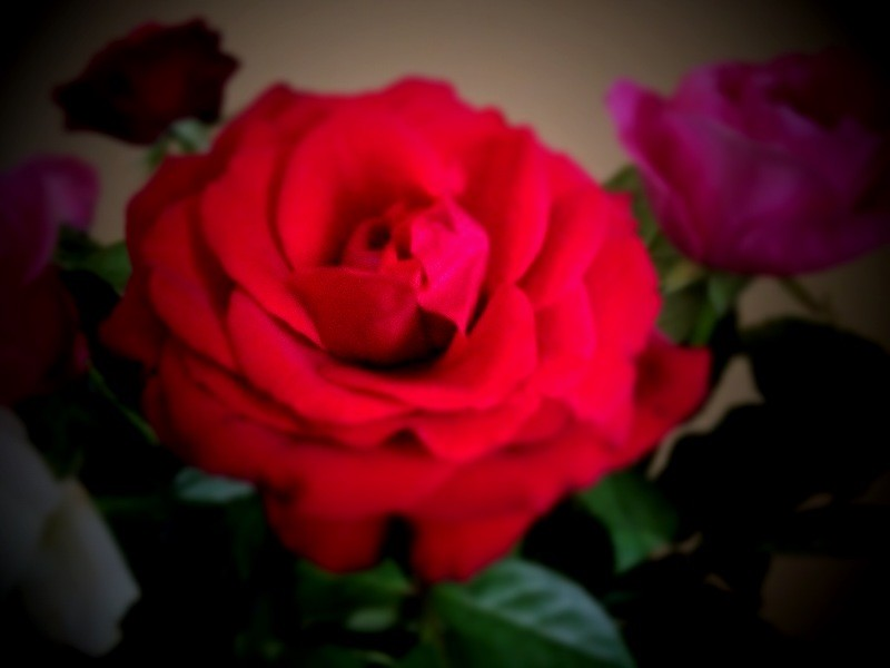 Rose in Room - iPhone Photography Challenge