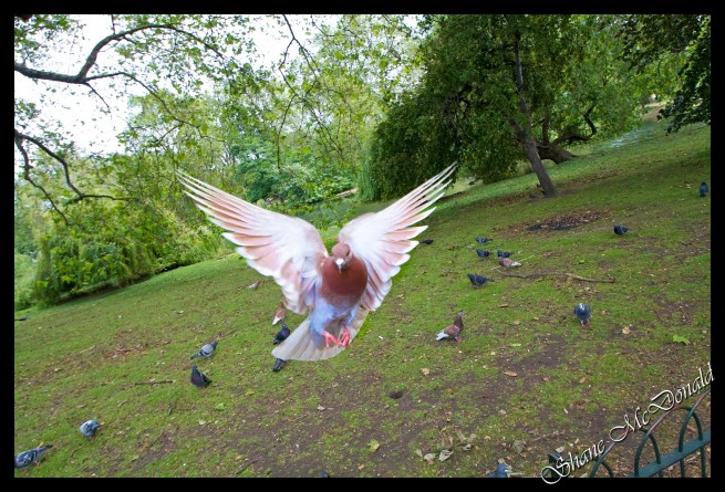 London Dove in Your Face - Pigeon, Dove, Fly