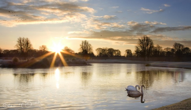 The Golden Hour Photography, Morning, Swans on Lake during Golden Hour Photo