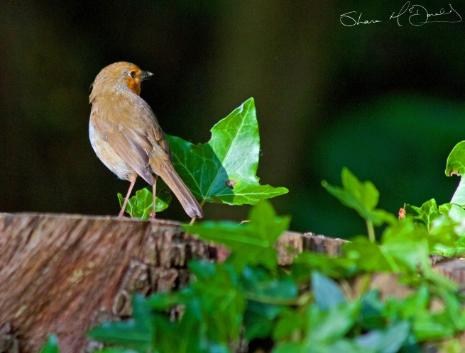 Robin-on-stump-655x498.jpg