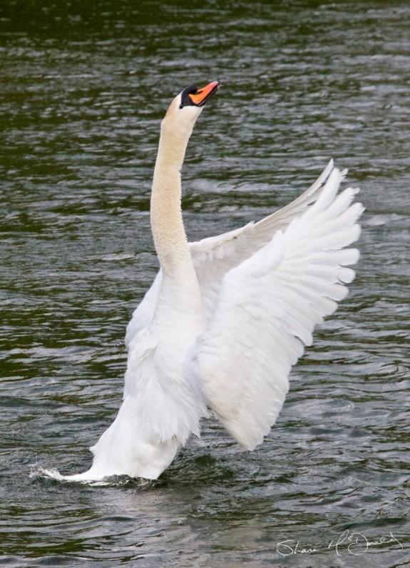 Naas Swan, Swans Naas