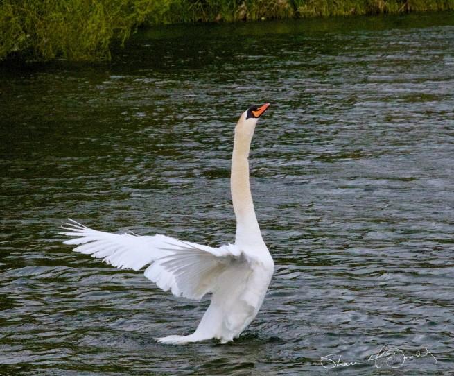 swans-027-655x542.jpg