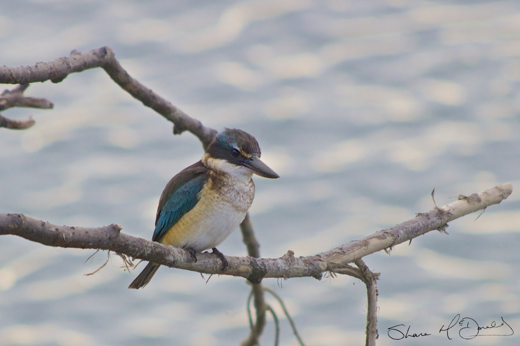 Kingfisher type bird in New Zealand – New Zealand Kingfisher ?