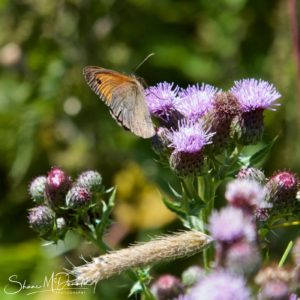 Wildlife Photography on the Isle of Wight - Butterfly