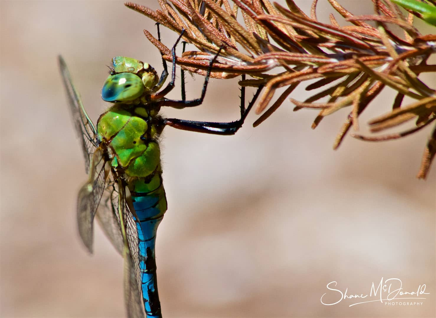 Dragonfly Photo Closeup - Wildlife on the Isle of Wight