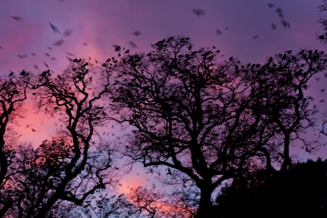 Crows in the Tree Tops at Sunset