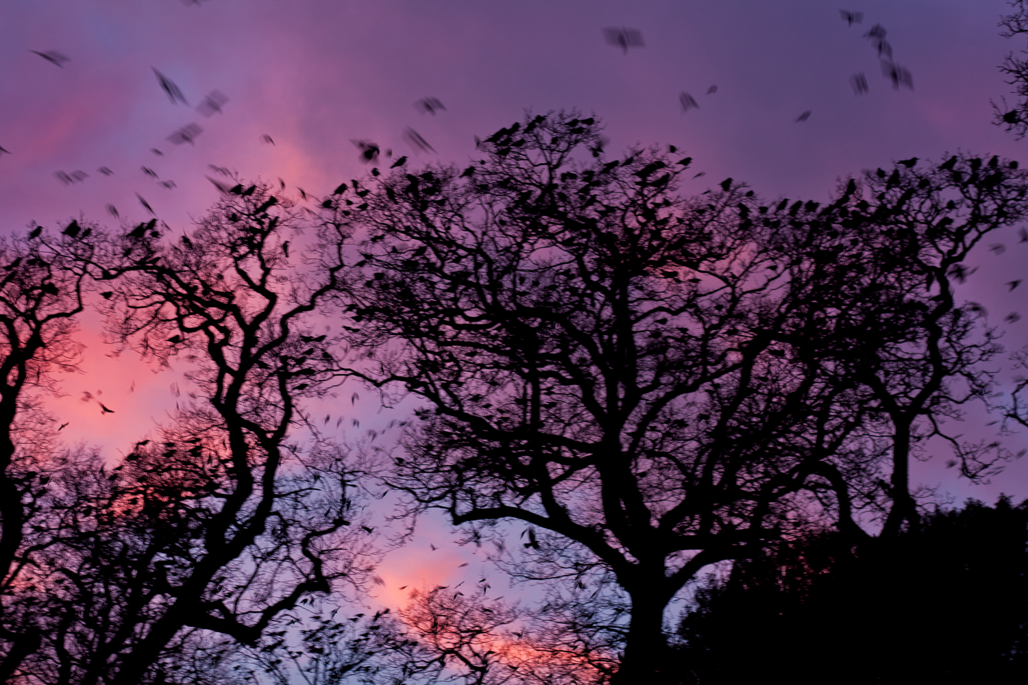 Crows in the Tree Tops at Sunset – 8/Project 52