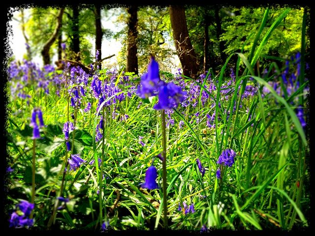 Bluebells in Woodland - iPhone Photography Challenge