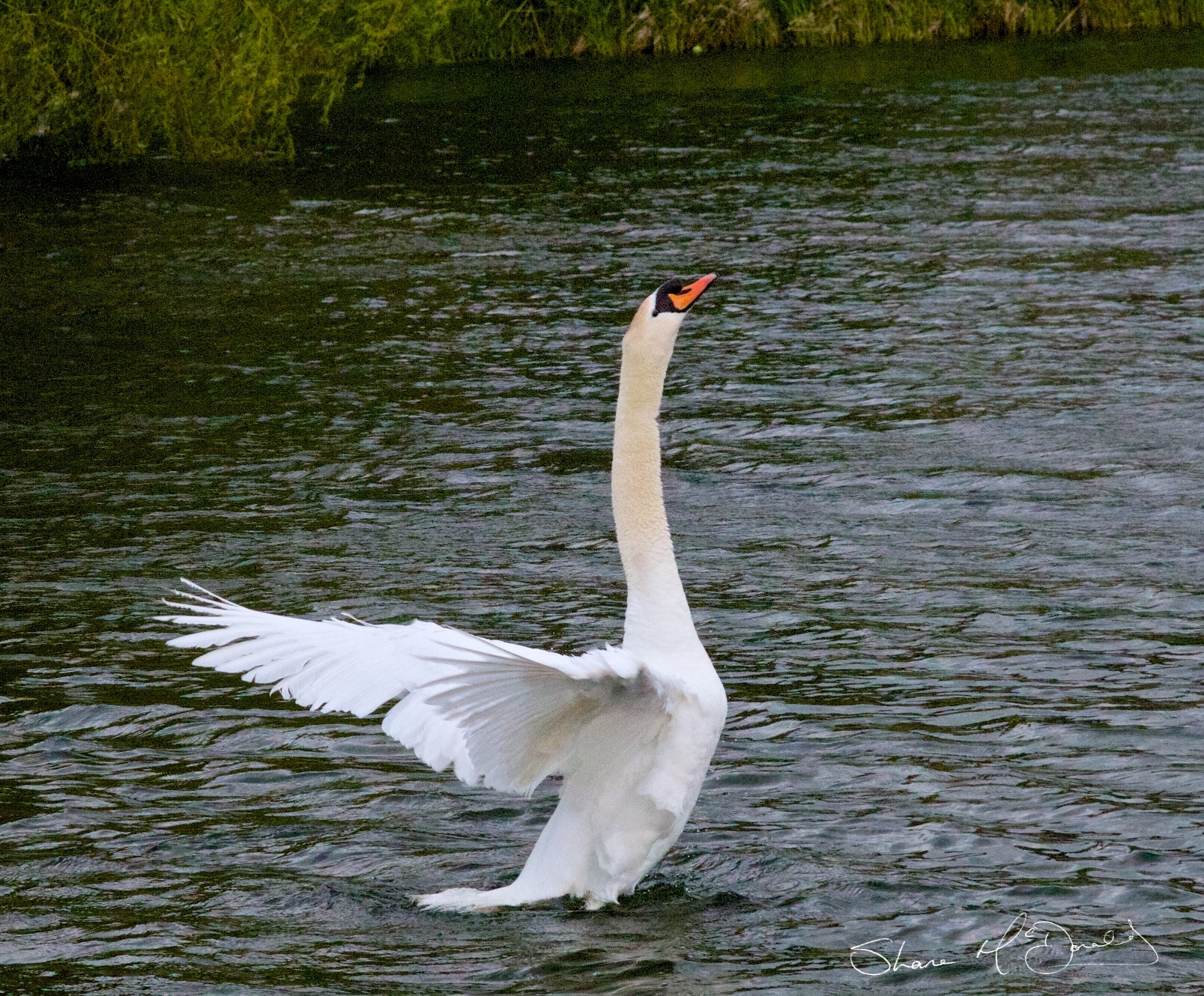 Beauty of Swans