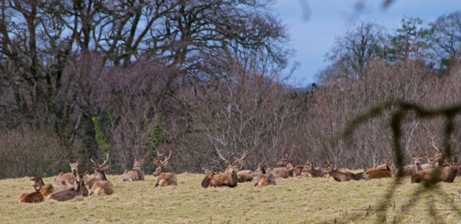 Deer in Doneraile Park