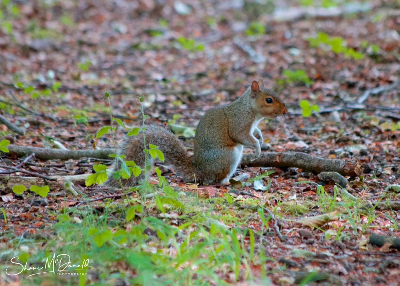 A Squirrel in the South Downs National Park