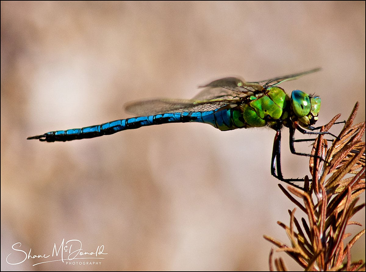 Amazing Dragonfly in Ventnor Botanical Gardens by Shane McDonald